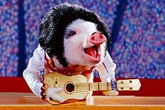 teach a pig how to sing